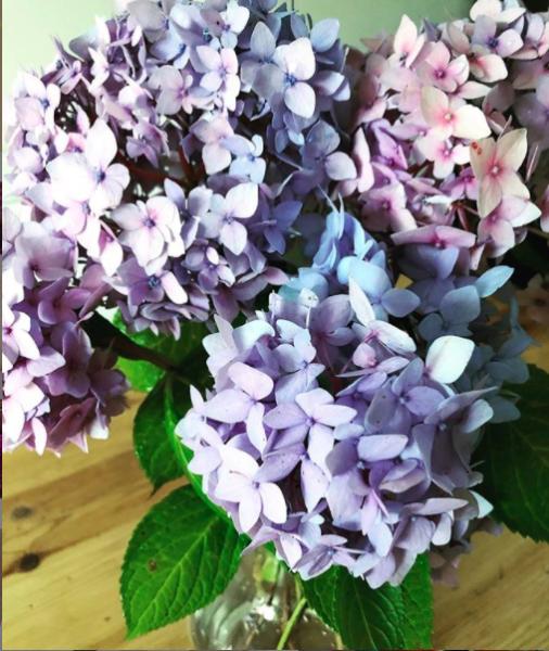 Beautiful shot of purple hydrangeas flower heads